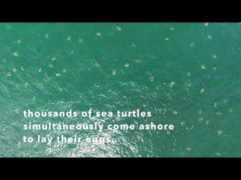 Thousands Of Turtles Video - NosaraSustainability.org