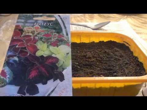 Колеус выращивание из семян
