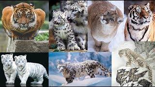 Fotos de felino recopilacion leones tigres guepardos panteras nieves puma
