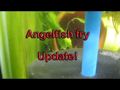 Angelfish Fry Update