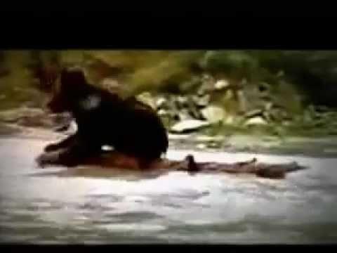 puma vs oso, ley del mas fuerte.http