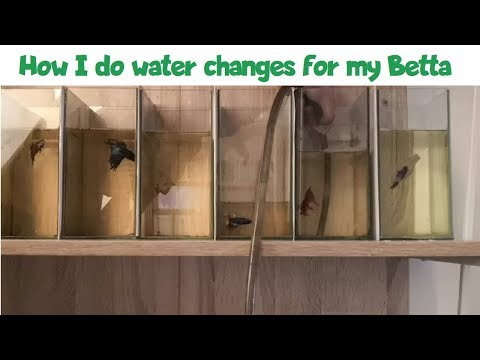 How I Do Water Changes For My Betta