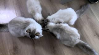 за сколько секунд  4 кошки съедят 1 тарелку мяса?