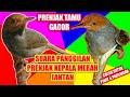 Suara Prenjak Kepala Merah Jantan Memanggil Betina Cocok Di Jadikan Pikat Prenjak Tamu  Mp3 - Mp4 Download