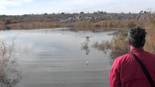 Dog Training Labrador Retriever Water