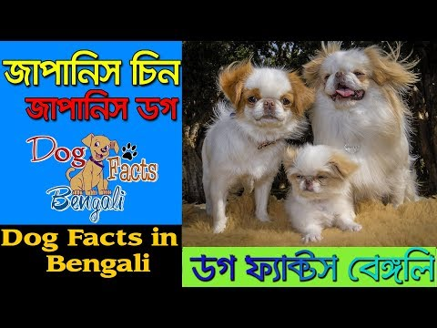 Japanese Chin Dog facts in Bengali | Japanese Spaniel | Dog Facts Bengali