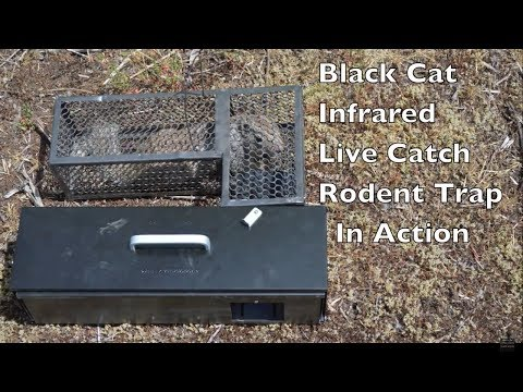 Infrared Black Cat Live Catch Rat Trap In Action. Catching Squirrels Alive.