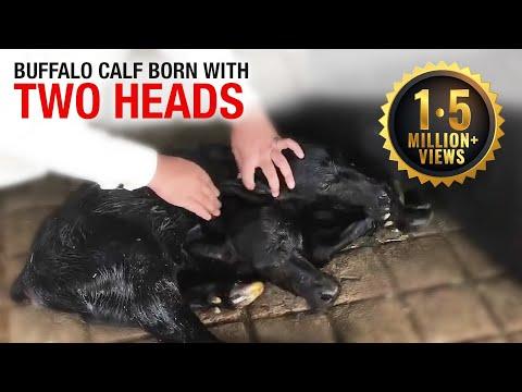 Two-Headed Buffalo Calf Born in Pakistan Catches Global Media