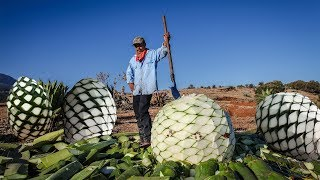 Awesome Agriculture Technology on Arid regions - Giant Pineapple Harvest and Processing