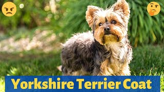 Yorkshire Terrier Hair and Coat : What you need to know about it?