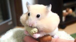 癒される~可愛すぎるハムスターの口と手!おもしろ可愛い癒しハムスターGive you inner peace! Too cute Funny hamster mouth and hands!