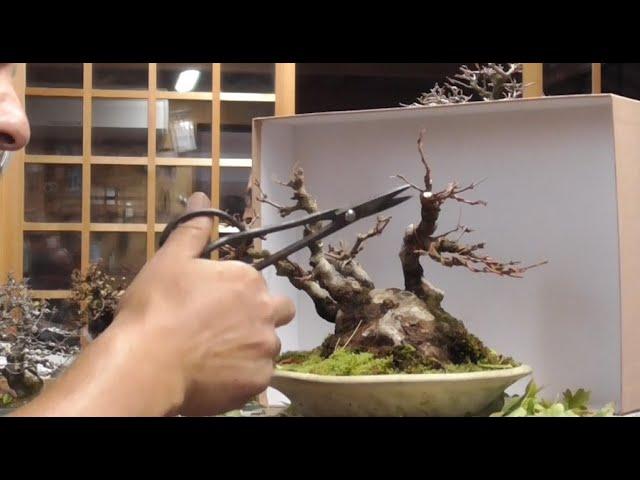 Hablando con el maestro sobre comprar pinos negros - Vlog Japón 27