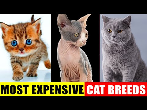 Cutest Cat Breeds and Their Characteristics, Personality