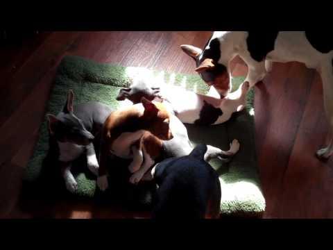 River Ridge Rat Terriers at play 2011...