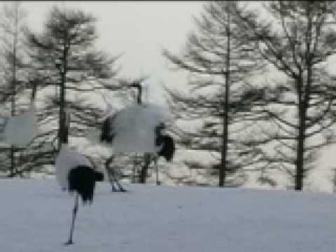 Japan Red Crowned Cranes Dance