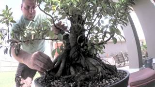 How to Bonsai - Ficus Tree Update