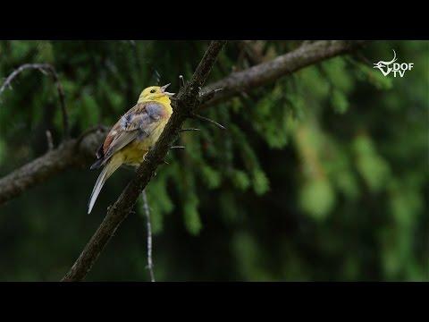 Sådan synger fuglene 1