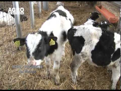 REPORTAJ VIDEO - Ferma de bovine la standarde europene