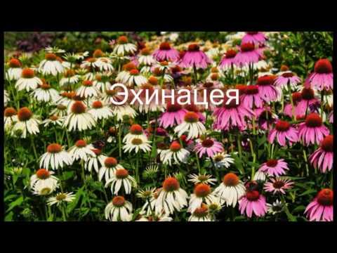 Лекарственные растения в дизайне Вашего сада.