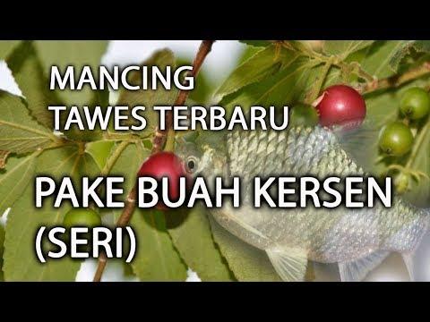 Buah Seri Kersen Umpan Mancing Ikan Tawes Yang Youtube