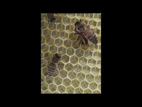 Boz qafqaz arısı.