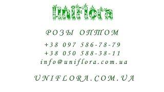 Заказать розы оптом с доставкой, цветы оптом, оптовые поставки цветов по Украине(Заполнить форму: http://uniflora.com.ua/opt Написать: info@uniflora.com.ua Позвонить: +38 097 586-78-79 или +38 050 588-38-11 Заказать розы оптом..., 2014-02-02T13:56:29.000Z)