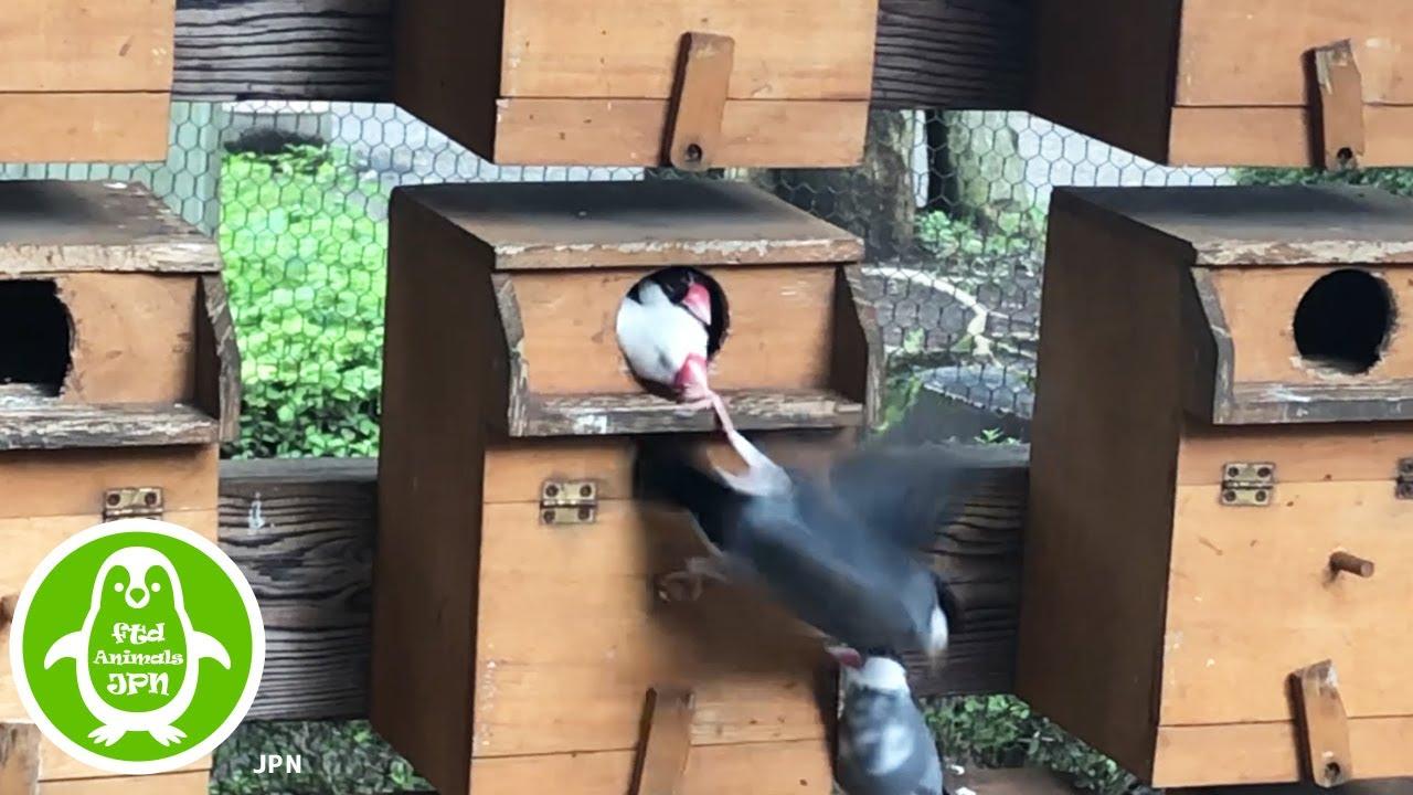 「かわいい」家の中に入ろうともするも阻止される文鳥【相模原ふれあい動物園】