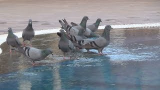 Голуби на водопое, Раджастан, Индия! Забавно!
