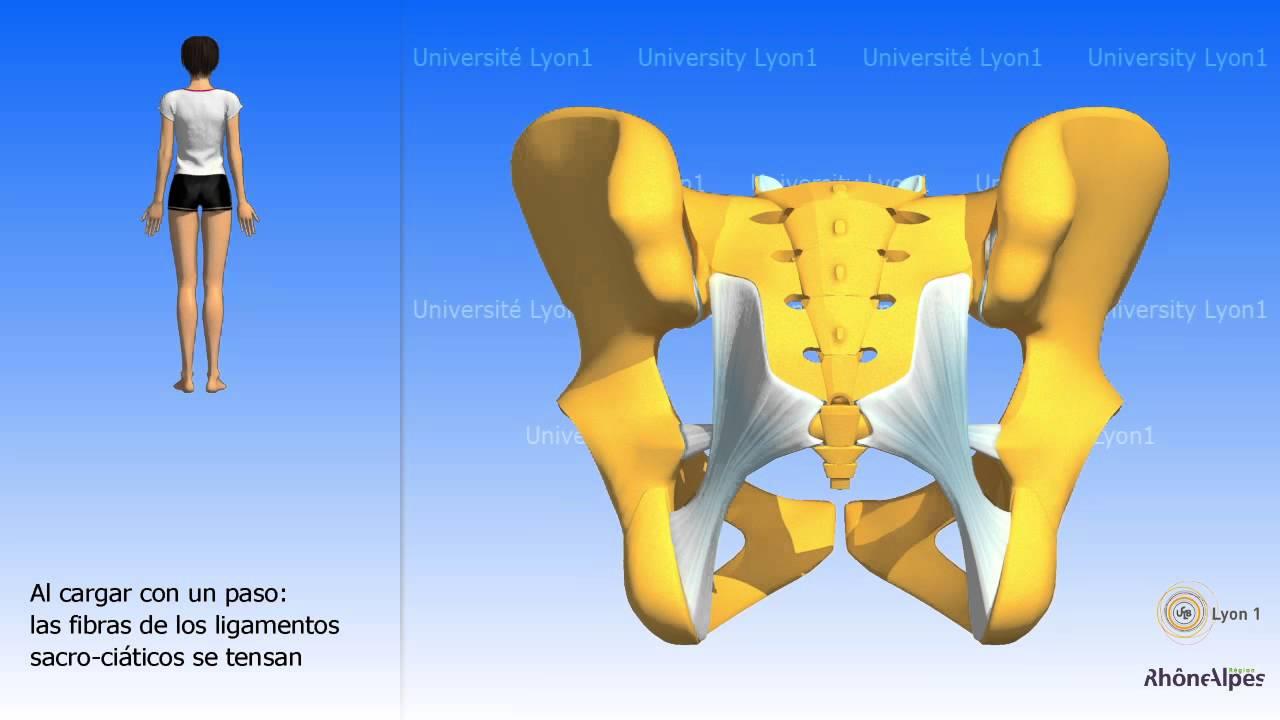 Artrología de la pelvis la articulación sacro ilíaca - YouTube