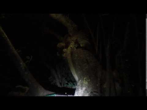 MVI 3178   Galago Bushbaby lodge
