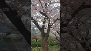 능동어린이대공원벚꽃 놀이