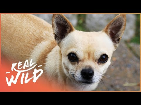 Tiny Chihuahua, Big Attitude! | The Love Of Dogs | Wild Things Documentary