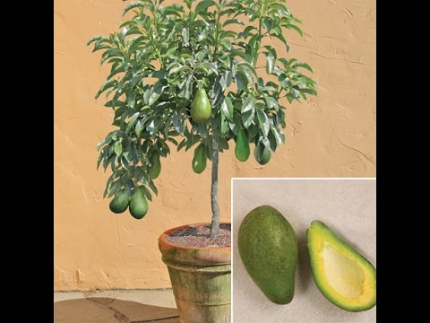 How To Grow Avocado Tree From Seed At Home