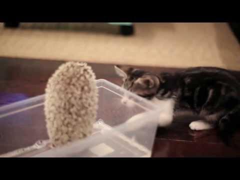 Питомник шотландских кошек AnyKey вислоухие котята