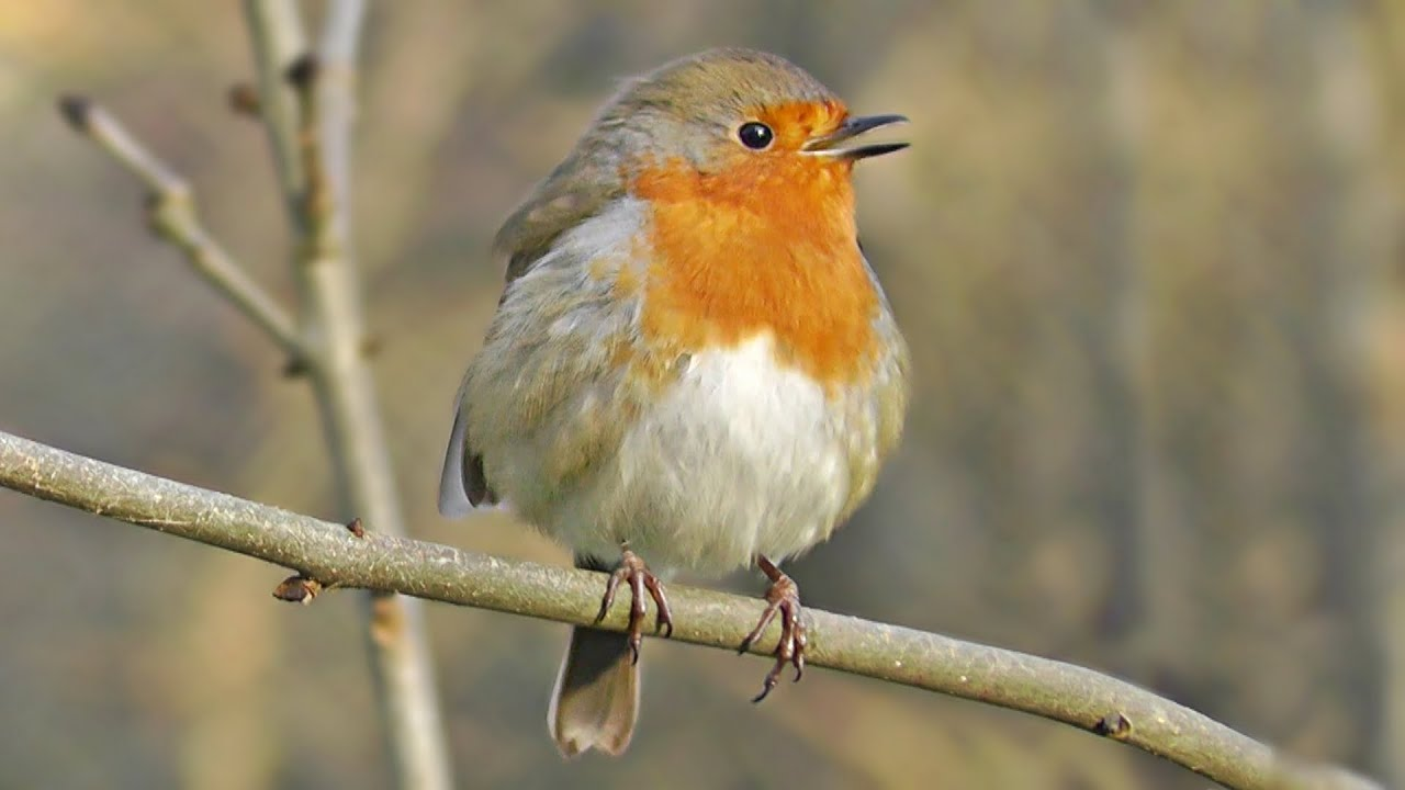 Robin Bird Singing A Gentle Song at The Stream - Great ...