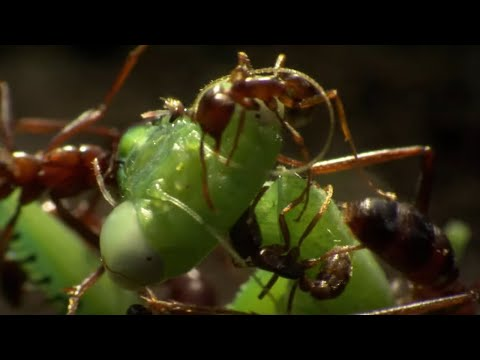 Praying Mantis Decapitated by Ant Swarm | Superswarm | BBC Earth