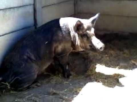 Australian Razor Back Pig In Captivity Youtube