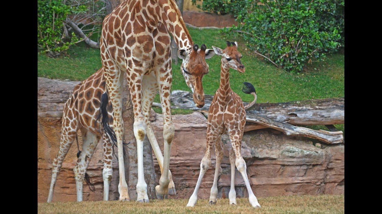 Resultado de imagen de jirafa bebe bioparc