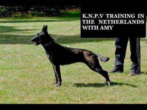 KNPV Training Dutch Herder Amy BRN 27186 🇮🇪