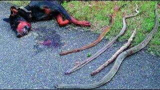 Chú chó hy sinh thân mình cứu chủ khỏi bầy rắn độc và cái kết đau lòng [TIN TỨC 24H]