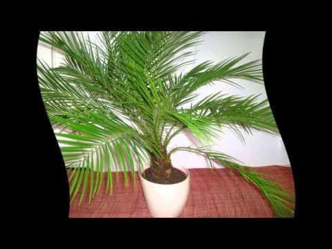 Как вырастить пальму - fancy-