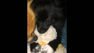 Pepper Pots The Pomeranian Puppy Nursing On Her Duck A. Miss Her Stuffed Animal.