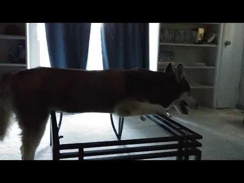 Rocky Siberian Husky watching TV laying across table