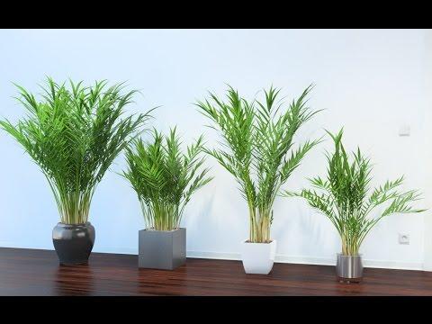 Как называется пальма которая отмирает на зиму