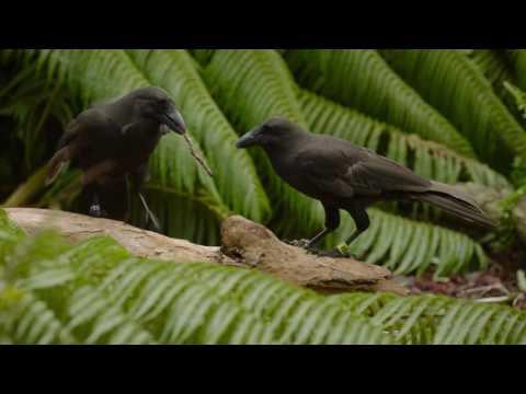 Hawaiian crow, or alala, use tools