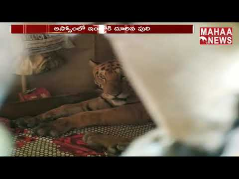 Tiger Caught Sleeping On Bed In Assam Sheltering From Flooded Kaziranga | MAHAA NEWS