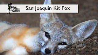San Joaquin Kit Fox - Saving Species Together