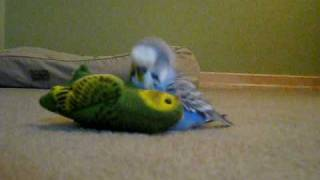 Dieter the Budgie 1