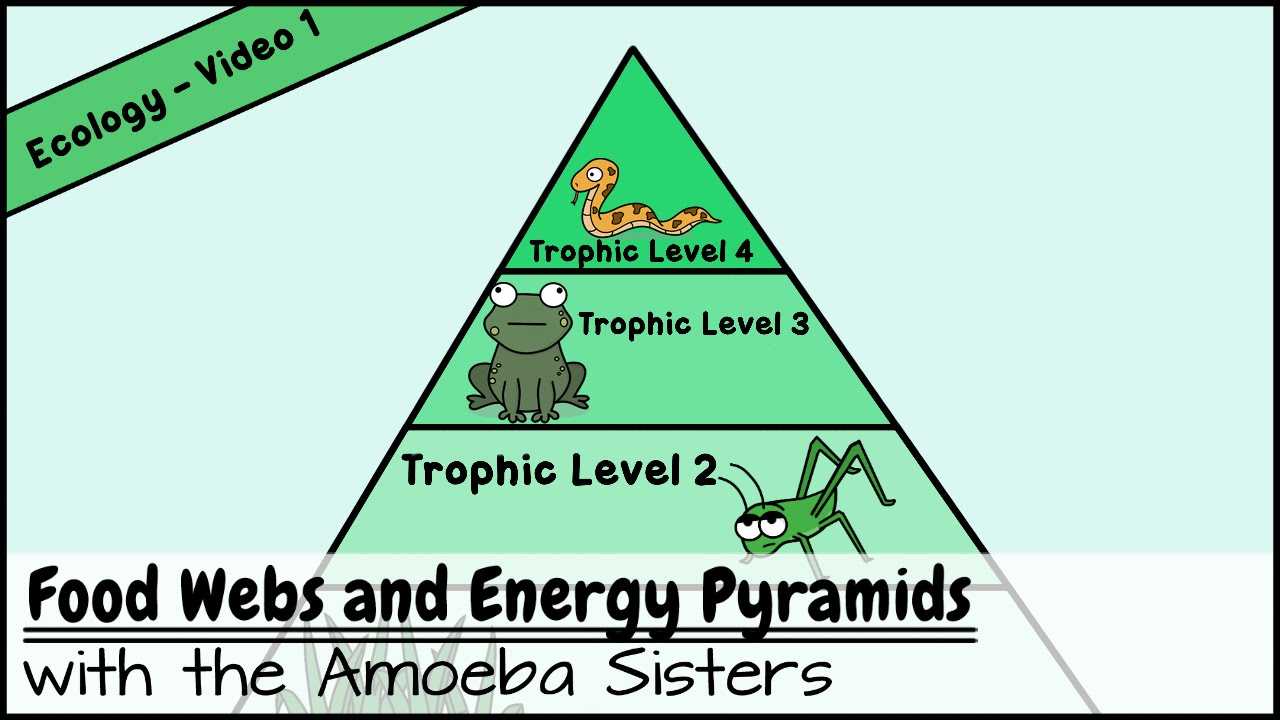 worksheet Ecological Pyramids Worksheet Answers food webs and energy pyramids bedrocks of biodiversity youtube