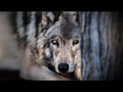 Слепая волчица пришла умирать в сырой подвал, но это был ещё не конец!
